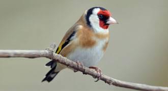 Tengelic madár